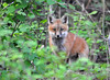 """<div class=""""jaDesc""""> <h4>Red Fox Kit Staring at Me - May 22 2014</h4> <p>Four Red Fox Kits were playing along a wooded bank next to their den.  This one sat down and stared right at me in my blind.  Photo has a soft look because I had to set my ISO at 1600 due to the low light conditions.</p> </div>"""