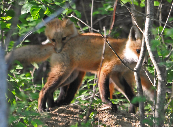 """<div class=""""jaDesc""""> <h4>Red Fox Kits - Love Bite - May 26 2014</h4> <p>The Red Fox Kits were in rare form again tonight; lots of play fighting going on.</p> </div>"""