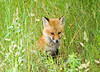 """<div class=""""jaDesc""""> <h4>Young Red Fox in Tall Grass - June 18, 2008</h4> <p> This young Red Fox was listening for mice movement in the ditch next to the road.</p> </div>"""