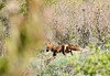 """<div class=""""jaDesc""""> <h4>Male Red Fox Hunting - April 29, 2010</h4> <p> This is the male Red Fox on his way out to hunt some food for his mate around 9AM this morning.  The Vixen was back at the den nursing the 4 kits.  She won't wean them until they are about 12 weeks old - in about 4 more weeks.  When I checked the den tonight around 7:30PM, the Vixen was lounging on the bank in front of one of the the den holes and the kits were playing at the other entrance.  My arrival spooked them all into the den.</p> </div>"""