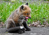 """<div class=""""jaDesc""""> <h4>Red Fox Kit Lick - Yawn - April 26, 2014</h4> <p>It started out as a big yawn and finished off with a side lick.</p> </div>"""