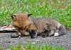 """<div class=""""jaDesc""""> <h4> Red Fox Kit Grooming - April 26, 2014 - Video Attached</h4> <p> This kit came up onto a blacktop area by the barn where it must have been warmer.  He settled in for a bit of grooming.  A second kit came charging into the scene just as I switched the video recording off. </p>  </div> <center> <a href=""""http://www.youtube.com/watch?v=skG7xOralvA""""  style=""""color: #0000FF"""" class=""""lightbox""""><strong> Play Video</strong></a>"""