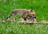 """<div class=""""jaDesc""""> <h4>Red Fox Kits - The Takedown - April 26, 2014</h4> <p>The wrestling looked more like an excuse to cuddle.</p> </div>"""