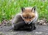 """<div class=""""jaDesc""""> <h4>Red Fox Kit - Time for a Rest - April 26, 2014</h4> <p>At one point, all 7 kits were either tucked into this resting position or sprawled out flat with their chin on the ground.  This one had a very serious look on his face.</p> </div>"""