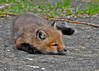"""<div class=""""jaDesc""""> <h4>Red Fox Kit Napping - April 26, 2014</h4> <p> This is their typical napping pose with paws tucked under the chin.  </p> </div>"""