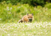 """<div class=""""jaDesc""""> <h4>Young Red Fox on Front Lawn - June 18, 2008</h4> <p> This young Red Fox was moving forward very carefully as he entered our clover-laden front lawn.  He was keeping a close eye on me with my camera as I was on my belly in the grass.</p> </div>"""