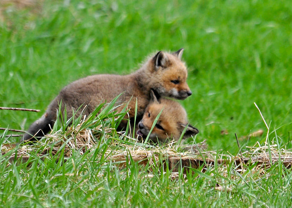 """<div class=""""jaDesc""""> <h4>Red Fox Kits - Wrestling Begins - April 26, 2014</h4> <p> After these 2 kits woke up from napping, they decided to wrestle.</p> </div>"""