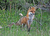 """<div class=""""jaDesc""""> <h4>Male Red Fox Staring - May 11, 2010</h4> <p> Our cat was walking through the front yard. This male Red Fox considered coming over and tangling, but then thought better of that idea and moved on down through the woods.</p> </div>"""
