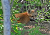 """<div class=""""jaDesc""""> <h4>Red Fox Kit Resting - May 26 2014</h4> <p>This one was taking a break from the rowdy play.</p> </div>"""