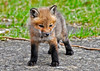"""<div class=""""jaDesc""""> <h4>Red Fox Kit Standing - April 26, 2014</h4> <p>All 7 kits are about the same size, I would guess about 1 month old.  Their primary markings are starting to show on their legs, face and ears.  This guy had just popped to his feet from a nap.</p> </div>"""