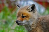 """<div class=""""jaDesc""""> <h4>Red Fox Kit - Cute Face - April 26, 2014</h4> <p> Being up close and personal with the seven Red Fox kits was such a treat.  What a cute face this little one had!</p> </div>"""