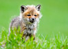 """<div class=""""jaDesc""""> <h4>Red Fox Kit Exploring - April 26, 2014</h4> <p> This kit is the most adventurous of the bunch.  He ventured furthest from the barn.  I was lying in the grass right in front of him; he wasn't afraid to check me out.</p> </div>"""