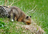 "<div class=""jaDesc""> <h4>Red Fox Kit Sniffing in Grass - April 26, 2014</h4> <p> This Red Fox kit wandered off beside the barn looking for a place to lay down.  This pile of dried grass looked and smelled promising.</p> </div>"