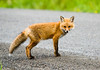 """<div class=""""jaDesc""""> <h4>Young Red Fox Crossing Road - June 18, 2008</h4> <p> Here is a full side view of the young Red Fox that was wandering around our front yard yesterday afternoon.  It went back and forth across the road several times as if it wasn't sure about being too far from the cover of the woods.</p> </div>"""