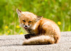 """<div class=""""jaDesc""""> <h4>Young Red Fox Yawning - June 23, 2008</h4> <p> This young Red Fox just finished licking its paws.  The 2 times I have seen this fox now, it has spent a lot of time grooming.</p> </div>"""