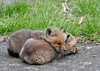 """<div class=""""jaDesc""""> <h4>Red Fox Kit Pile - April 26, 2014</h4> <p> They like to use each other as pillows.  There was never any fuss about this. They would take turns being on top.</p> </div>"""