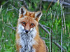 """<div class=""""jaDesc""""> <h4>Male Red Fox Close-up - May 11, 2010</h4> <p> He had a very peaceful look on his face.  His breeding season colors were just wonderful !!</p> </div>"""