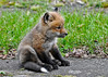 """<div class=""""jaDesc""""> <h4>Red Fox Kit Relaxing - April 26, 2014</h4> <p> The signature Red Fox tail was very prominent in this pose.  I am not sure what he was staring at.</p> </div>"""