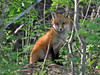 """<div class=""""jaDesc""""> <h4>Red Fox Kit Posing - May 26 2014</h4> <p>The black on the legs and red on the back are starting to show very nicely on the Red Fox kits.</p> </div>"""