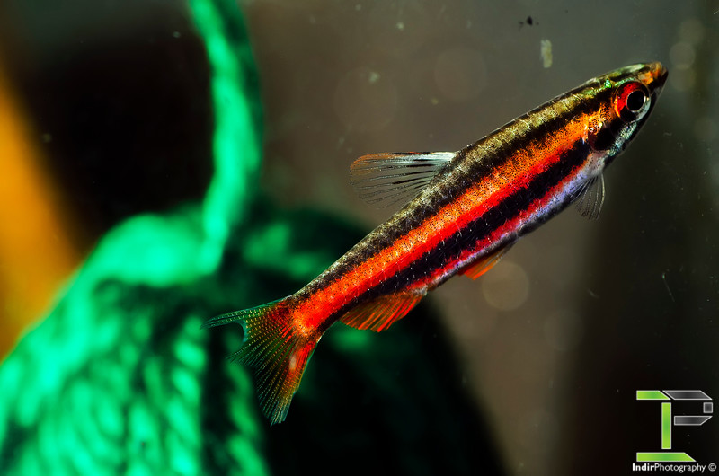 Coral Red Pencilfish - Male