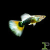German White Tail Tuxedo Guppy