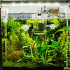 Apistogramma and Celestial Pearl Danio - Display Tank