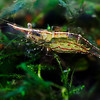 North Queensland Algae Shrimp - Female