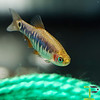 Male  Emerald Tiger Danio