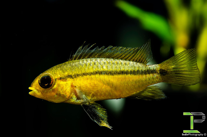 Apistogramma Barbarossa - Female