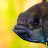 Male Apistogramma Face Shot