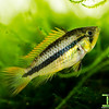 Apistogramma cacatuoides Triple Red Fry