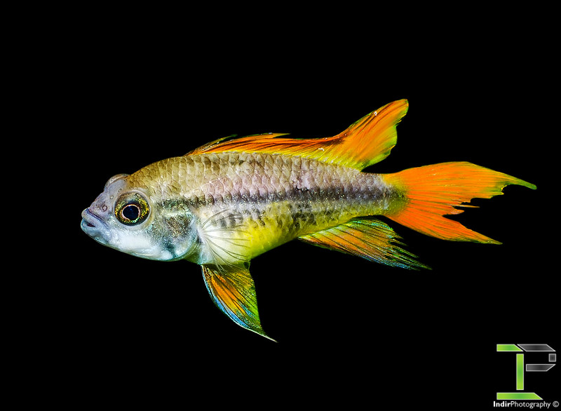 Apistogramma Cacatuoides - Orange Flash