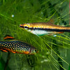 Male Galaxy Rasbora and Golden Pencilfish