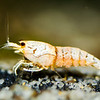 Golden Bee Shrimp