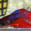 Male - Siamese Fighting Fish (Betta Splendens)