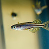 Male Spotted Blue Eye Rainbowfish (Pseudomugil Gertrudae)