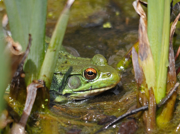 "<div class=""jaDesc""> <h4> Green Frog Sunning Among Water Irises - May 2, 2015</h4> <p> This Green Frog blended in so well that I almost did not see him.</p> </div>"