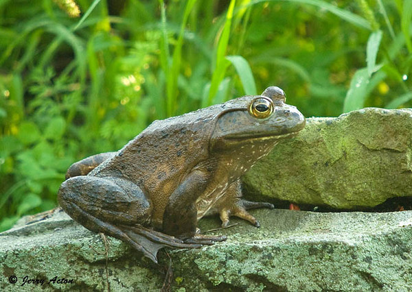 """<div class=""""jaDesc""""> <h4> Bullfrog Relaxing - August 15, 2009</h4> <p>This Bullfrog is by far the biggest frog in our 2 water garden ponds.  He leaped up 8 inches out of the water onto this rock and just relaxed for about 10 minutes.</p> </div>"""