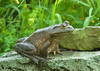 "<div class=""jaDesc""> <h4> Bullfrog Relaxing - August 15, 2009</h4> <p>This Bullfrog is by far the biggest frog in our 2 water garden ponds.  He leaped up 8 inches out of the water onto this rock and just relaxed for about 10 minutes.</p> </div>"