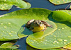 "<div class=""jaDesc""> <h4> Bullfrog After a Heavy Rain - August 10, 2011</h4> <p> After a thunderstorm passed through, the Bullfrogs in our pond came out to enjoy the fresh puddles on the lilypads.</p> </div>"