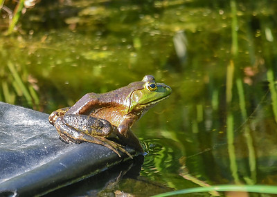 Bullfrog Sunning - July 2, 2018  On a water garden shelf, surveying for bugs and fly by butterflies.
