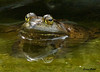 "<div class=""jaDesc""> <h4> Bullfrog Close-up - September 22, 2009</h4> <p>This is our big Bullfrog keeping a close watch on me.  He moves back and forth between our 2 water garden ponds.</p> </div>"