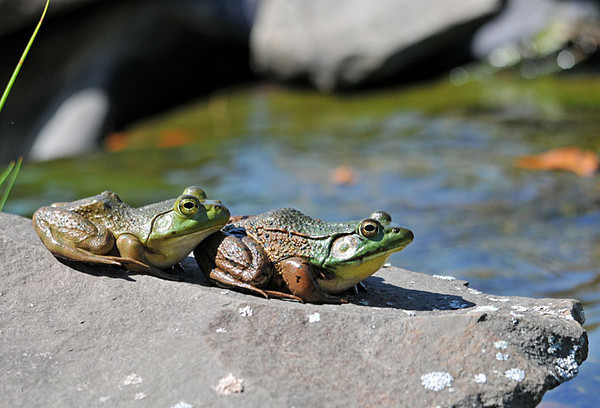 """<div class=""""jaDesc""""> <h4> Frog Line-up - August 28, 2010</h4> <p>I was surprised to see two Frogs of different species lined up so close together. The front frog is a Green Frog - has a skin fold down the side. The back frog is a Bullfrog - no skin fold down the side, prominent rump ridge and slightly lighter green.</p> </div>"""