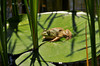 "<div class=""jaDesc""> <h4> Young Bullfrog - June 2, 2010</h4> <p> The young Bullfrogs like to sun themselves on their own private lilypad. This guy had selected one that was surrounded by cattails.</p> </div>"