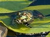 "<div class=""jaDesc""> <h4> Frog Catches Meal - July 27, 2009</h4> <p> I had been chasing a Tiger Swallowtail butterfly around the yard trying to get a photo.  It flew along the walkway next to our water garden pond and then swooped down over the water.  A Green Frog leaped a foot in the air and snatched the butterfly, landing on a lilypad with the catch in its mouth.  I only got a few shots with my camera before it dove under water with its meal.</p> </div>"