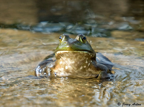 """<div class=""""jaDesc""""> <h4> Bullfrog on Waterfall Stone - July 27, 2009</h4> <p>When I went out to put seed in the feeder by our water garden pond, there was a young Bullfrog sitting right in the middle of the waterfall stone.  He let me get pretty close and never moved from his sunny spot.</p> </div>"""