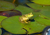 "<div class=""jaDesc""> <h4> Young Bullfrog Sunning - September 2, 2008</h4> <p>This is a young Bullfrog that was sunning himself in the middle of a lillypad leaf.  The young ones start out more yellowish than green.</p> </div>"