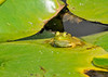 "<div class=""jaDesc""> <h4> Baby Bullfrog Sun Bathing - July 21, 2014</h4> <p> Our lilypads make great sunning platforms for the frogs.  This baby Bullfrog is only a few inches long, but has his own private 15 inch lilypad.  We provide first class accommodation at our pond.</p> </div>"