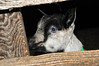 "<div class=""jaDesc""> <h4> Young Alpine Dairy Goat - December 27, 2014</h4> <p>We went back to Side Hill Acres dairy goat farm in Candor, NY today to see the baby goats.  They are in a separate pen from the adults.  This month old Alpine Dairy Goat was peeking through the board fence.</p> </div>"