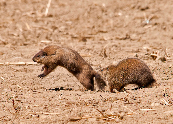 """<div class=""""jaDesc""""> <h4> Ground Hog - Love Bite - May 3, 2013</h4> <p>It was fun watching their playful antics as the trailing Ground Hog nipped the one in front on the tail sending it leaping into the air.</p> </div>"""